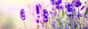 violetten Blüten des Lavendel.