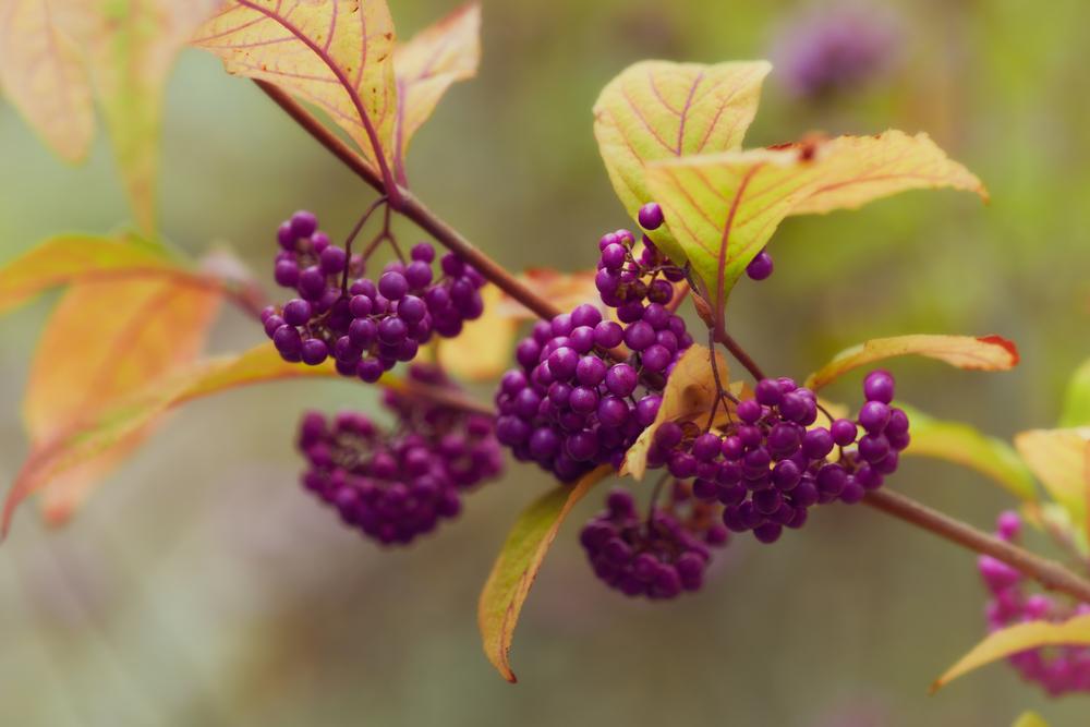 lila Früchte des Liebesperlenstrauch - Callicarpa bodinieri