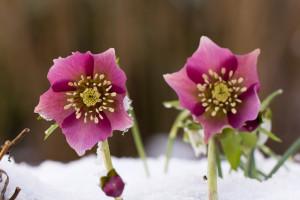 rote Blüte im Schnee von der Schneerose.