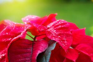 rote Hochblätter des Weihnachtssterns.