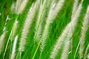 Ziergräser - Haar des Gartens