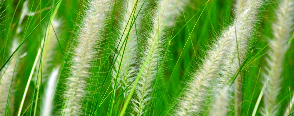Ziergräser - Pflanzen für moderne Gärten